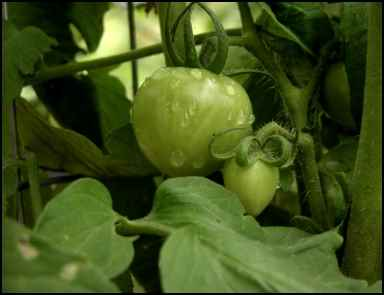green tomato, homesteading