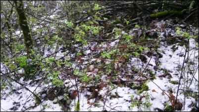 Poison oak bush in early spring.