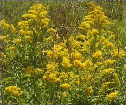 weeds as soil indicators goldenrod