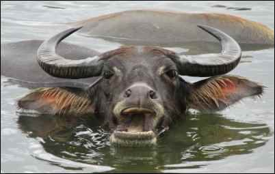 water buffalo, Weird Things to Grow and Market on the Homestead, homesteading