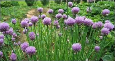 facts about chives, as well as growing tips for chives.