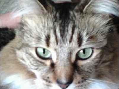 pet rescue cat