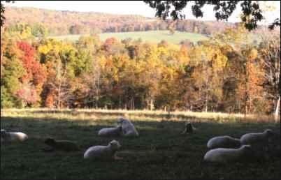 Babydoll Southdown Sheep flock
