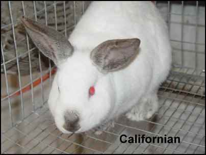 californian rabbit meat