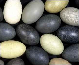 Emu eggs, benefits of emu oil