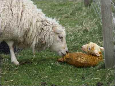 Grafting an Orphan Calf to a Surrogate Mother