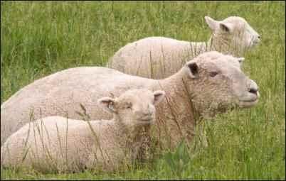 Babydoll Southdown Sheep lambs and ewe