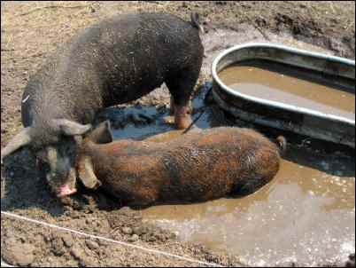 moving pastured pigs homesteading
