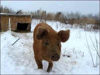 raising Pastured Pigs in snow homesteading