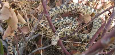 Gopher snake Photo by Jeff Moser