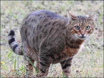 bengal barn cat