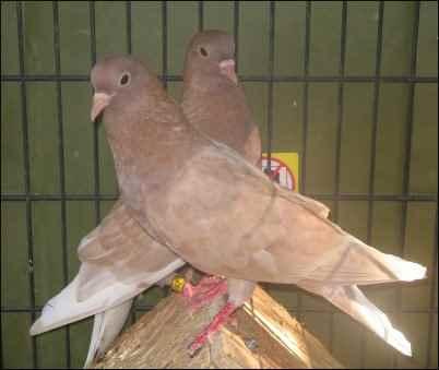 raising Rock Pigeons
