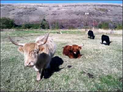 highland beef cattle